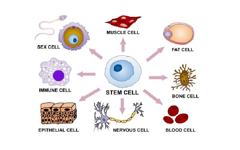 Qué son las células madre y para qué sirven